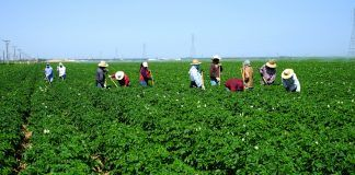 Kern County potato farm