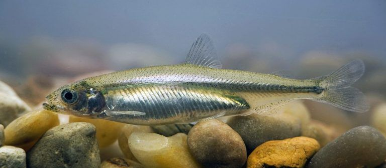 Is There Any Hope for Delta Smelt?