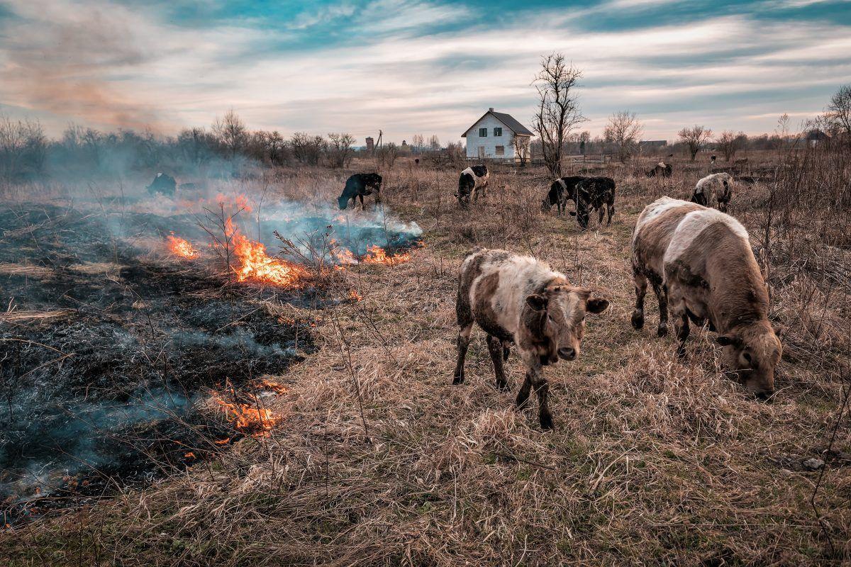 Herd of cows fleeing a wildfire