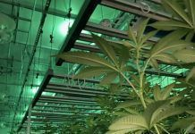 cannabis production