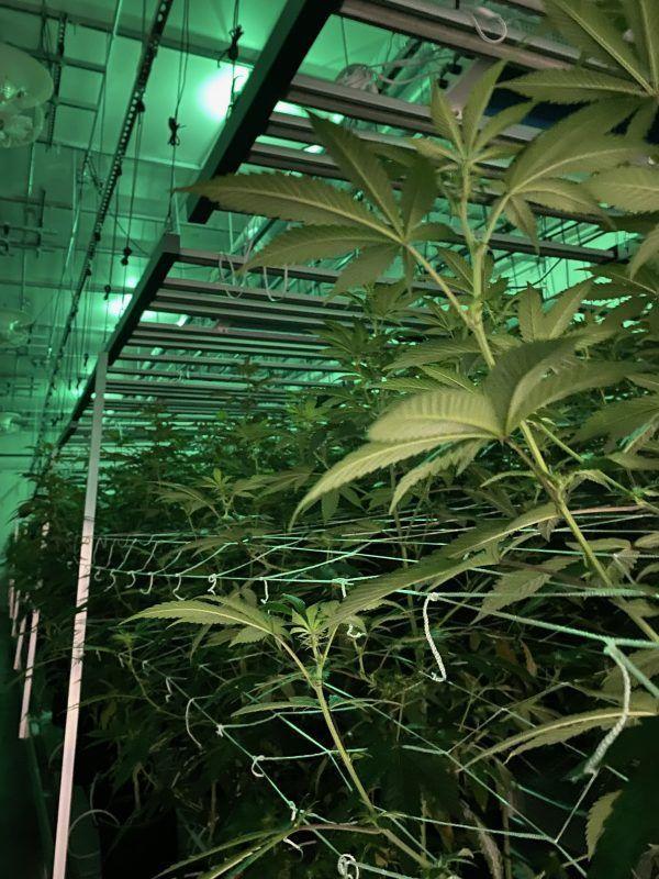 Cannabis Economy Benefits Communities, Creates Jobs