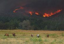 wildfire with livestock in foreground